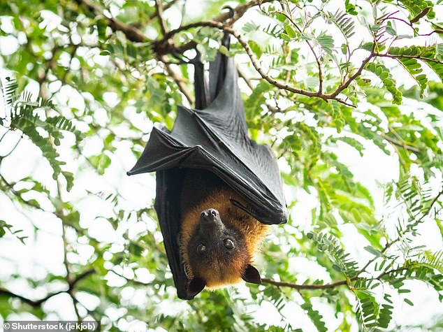 Covid-19's exact origin is currently unknown, but the consensus is that it originated in bats before jumping to another animal which then passed it to people (stock image)
